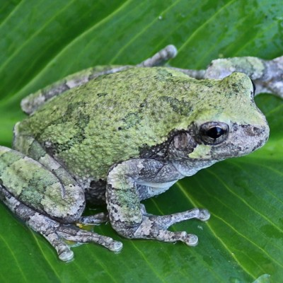 north american grey tree frog